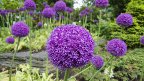 Fiore ornamentale dell'allium Fotografia Stock