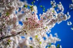 Fiore ornamentale della primavera Fotografie Stock