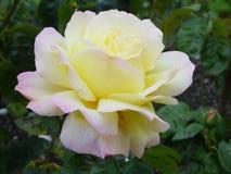 Fiore - pace Rosa fotografie stock