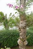 Fiore parassitario su un albero, Tailandia dell'orchidea Fotografia Stock Libera da Diritti