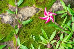 Fiore peloso di Keruing sulla terra piena di muschio e di erba verdi fotografia stock