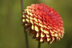 Fiore per il giardino Fotografia Stock
