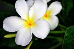 fiore per la molla Immagini Stock