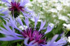 Fiore perenne del Montana della centaurea immagine stock libera da diritti