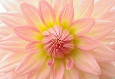 Fiore perfetto della dalia Fotografie Stock Libere da Diritti