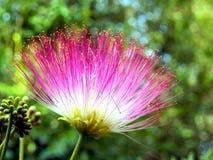 Fiore persiano dell'albero di seta Fotografie Stock