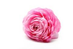 Fiore persiano rosa del ranuncolo Fotografia Stock Libera da Diritti