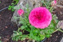 Fiore persiano rosa del ranuncolo (asiaticus del ranunculus) con i germogli Immagini Stock Libere da Diritti