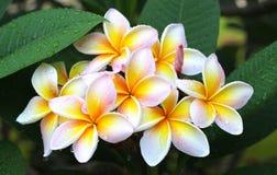 Fiore più plumier Immagini Stock Libere da Diritti