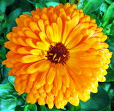 Fiore pieno Fotografia Stock