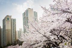 Fiore pieno del ciliegio lungo il lato del lago di Lotte World Magic Island fotografia stock