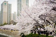 Fiore pieno del ciliegio lungo il lato del lago di Lotte World Magic Island fotografia stock libera da diritti