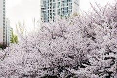 Fiore pieno del ciliegio lungo il lato del lago di Lotte World Magic Island immagine stock