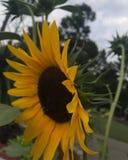 Fiore pieno di sole immagine stock libera da diritti