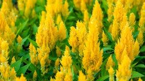 Fiore piumato giallo di Celosia Fotografia Stock Libera da Diritti