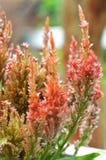 Fiore Plumed del cockscomb Fotografie Stock