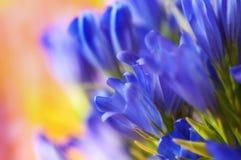 Fiore pneumontant genziana, applie del primo piano del fondo della campana del mare Fotografia Stock Libera da Diritti