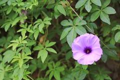 Fiore porpora che pianta del craker di chiamate della gente tailandese conosciuta come l'erbaccia e l'erba immagini stock