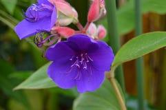 Fiore porpora con i germogli rossi Immagine Stock
