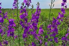 Fiore porpora davanti ad un campo gli stessi fiori fotografia stock libera da diritti
