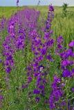 fiore porpora davanti ad un campo lungo gli stessi fiori immagini stock