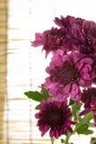 Fiore porpora dei crisantemi Fotografia Stock