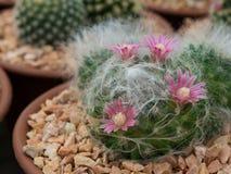 Fiore porpora del cactus del fiore nel giardino Immagine Stock Libera da Diritti