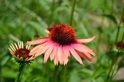 Fiore porpora del cono dell'echinacea a Cornell Botanical Gardens Immagine Stock Libera da Diritti