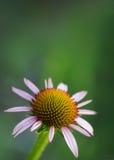Fiore porpora del cono - echinacea purpurea Fotografia Stock