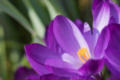Fiore porpora del croco del primo piano Fotografie Stock