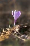 Fiore porpora del croco di zafferano Fotografia Stock Libera da Diritti