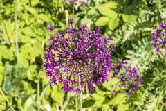 Fiore porpora del gladiatore dell'allium Fotografia Stock Libera da Diritti