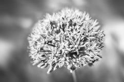 Fiore porpora dell'allium Fotografie Stock