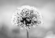 Fiore porpora dell'allium Fotografia Stock