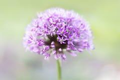 Fiore porpora dell'allium Immagini Stock Libere da Diritti