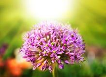 Fiore porpora dell'allium Immagine Stock