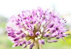 Fiore porpora dell'allium Immagini Stock