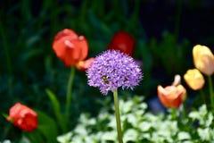 Fiore porpora dell'allium con i tulipani nei precedenti immagine stock libera da diritti