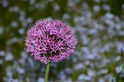 Fiore porpora dell'allium con il gambo, fondo vago del fiore Immagini Stock