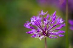 Fiore porpora dell'allium del primo piano su fondo vago Fotografia Stock