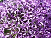Fiore porpora dell'allium in giardino Immagini Stock Libere da Diritti