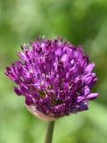 Fiore porpora dell'allium in giardino Immagini Stock