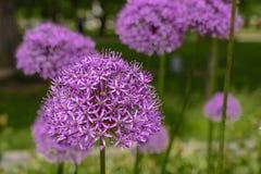 Fiore porpora dell'allium, giganteum dell'allium Arco decorativo del fiore Fiore nella forma della palla Immagine Stock