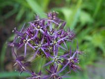 Fiore porpora dell'allium nel parco Immagine Stock Libera da Diritti