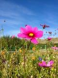 Fiore porpora dell'aster in giardino Fotografia Stock