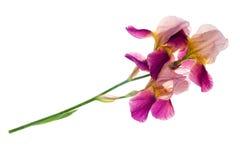 Fiore porpora dell'iride Fotografia Stock Libera da Diritti