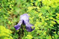 Fiore porpora dell'iride contro un fondo del prato Fotografia Stock
