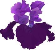 Fiore porpora dell'iride isolato su fondo bianco Fotografie Stock