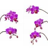 Fiore porpora dell'orchidea del ramo isolato su bianco Fotografia Stock Libera da Diritti