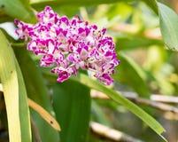 Fiore porpora dell'orchidea in giardino tropicale, gigantea di Rhynchostylis, Immagini Stock Libere da Diritti
